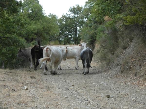 32-koeien-op-het-pad-naar-Aliano